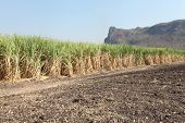Row Of Sugarcane Ready For Harvest