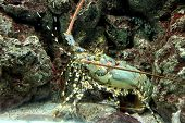Crayfish Spiny Rock Lobster Being Sheltered Reef Area.