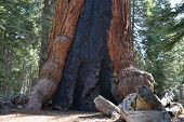 Grizzly Giant Sequoia Tree Mariposa