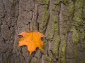 a leaf on the bark of a tree in autumn. colourful in the season
