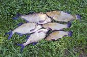 Big Lake Fishes Tench And  Bream On Green Grass After Fishing