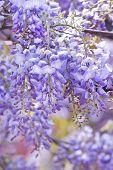 Wisteria Sinensis Flowers In Spring