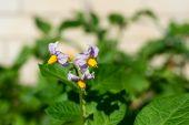 White Flower Of A Potato