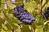 Grapes of the Chianti