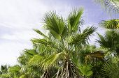 stock photo of humiliation  - European fan palm Chamaerops humilis as seen against the sky - JPG