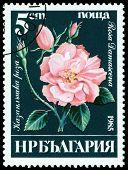 Vintage  Postage Stamp. Rosa  Damascena.
