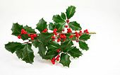 American Holly and Winterberry
