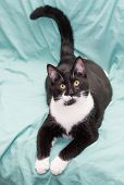 picture of heartwarming  - Black and white cat lying on green background with his tail and warily looking up - JPG