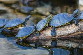 stock photo of turtle shell  - Water turtles in row marching on a log - JPG