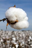 foto of boll  - Cotton boll in a field ready to be harvested.