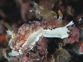 Nudibranch Chromodoris Reticulata