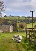 Sheep And Lambs, Cotswolds