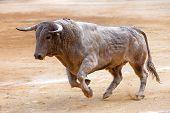 Bull color cinnamon galloping at a bullfight