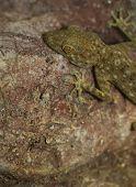 Fan Toed Gecko Hanging