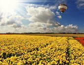 Boundless field with blooming pink buttercups. Flying over fields of huge multicolored balloon. Spri