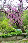 stock photo of judas tree  - Close up of violet blossoming Cercis siliquastrum plant at Caucasus area - JPG