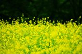 Field of rapeseed with green forest background. Shallow depth of field.