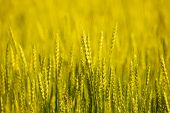 Wheat field close up. Shallow depth of field.