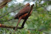Brown Cuckoodove