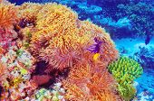 Clown fish swimming in coral garden, beautiful undersea nature, majestic marine life, diving on Maldives island