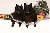 Two Gorgeous Black Dogs With Christmas Decorations