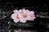 Cherry blossom, sakura flowers on pebbles-wet background