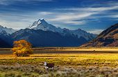 stock photo of highland-cattle  - Farmland with grazing cows and Mount Cook on background - JPG