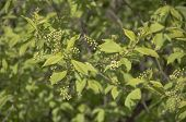 Bird Cherry Tree Branch