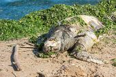 stock photo of green turtle  - Dead green turtle on the beach in Greece - JPG