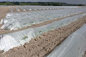 greenhouses melons