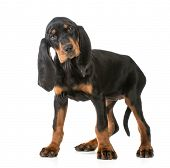 cute puppy - black and tan coonhound standing looking at viewer