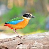 Blue Winged Pitta Bird