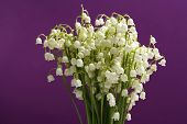 Beautiful lilies of the valley on purple background