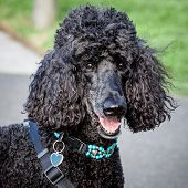 Beautiful Black Standard Poodle Looking At The Camera