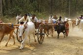 Nagaon Maharashtra India, April 30:Traditional Bullock cart race
