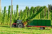 Harvesting Hop with a tractor