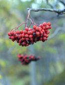 Red Ripe Rowan On A Branch