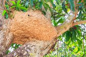 stock photo of pain-tree  - Big wasp nest on a mango tree - JPG