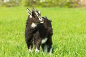 foto of cashmere goat  - Cute black goat kid grazing at the meadow - JPG