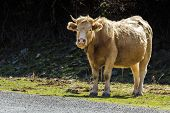 stock photo of tame  - Brown tame bull standing and staring at observer with text space - JPG