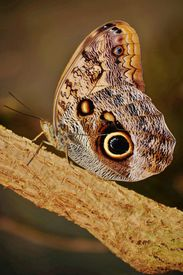 foto of hughes  - Close up of beautiful Owl butterfly with Hugh eyespots