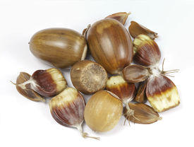 picture of beechnut  - Close up of hazel nuts acorns beechnuts and horse chestnuts isolated on a white background - JPG