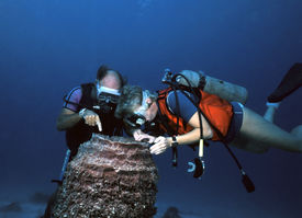 stock photo of honkers  - Divemaster points out that life does exist inside other marine life - JPG
