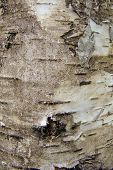 natural background birch bark