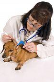 Veterinarian Checking Ear Of Dog