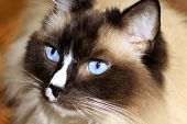 Ragdoll kat