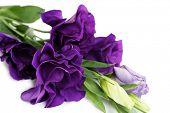 Beautiful violet eustoma close up