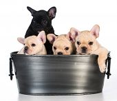 litter of french bulldog puppies in a wash basin on white background - 7 weeks old