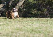 english bulldog running - six year old female
