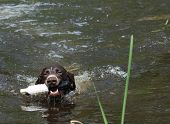 german shorthaired pointer retrieving a training toy from river